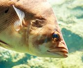 pic of siamese  - - Siamese tiger fish in an aquarium - - JPG