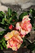 pic of desert-rose  - Tropical flower  - JPG