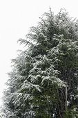 Pine Covered By Snow