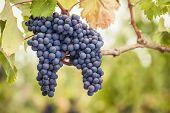 Pinot Noir wine grapes on vine