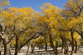 Poplar Tree In Autumn Season, Ejina, Inner Mongolia, China