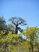baobab in the bush, Kruger, South Africa
