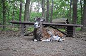 Junge entspannt Mufflon