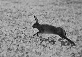 picture of hare  - Black and white photo of the wild Hopping Hare - JPG