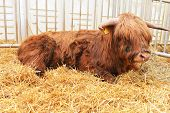 foto of highland-cattle  - Highland cow with ring in his nose lying on straw - JPG