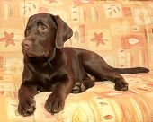 Puppy Chocolate Labrador Retriever (age 5,0 Months) Lying On The Couch