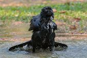 stock photo of bathing  - natural scene of crow bathing in feild - JPG