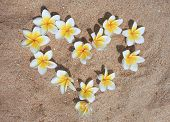 Plumeria on the sand.