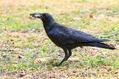 Wilderness Black Crow Bird Standing On Grass Field Catching Some Food In Bill Mouth