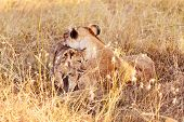 Lioness With Cub In Masai Mara