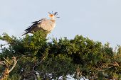 Secretary Bird, Masai Mara