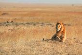 Male Lion In Masai Mara