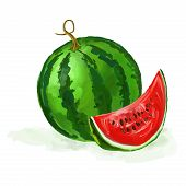 watermelon vector illustration  hand drawn  painted watercolor