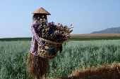 stock photo of scarecrow  - scarecrow in green oat field with flowers basket  - JPG