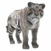 image of white-tiger  - 3D digital render of a white tiger isolated on white background - JPG