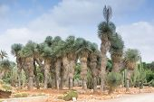 Grove Of Palm Trees And Cacti