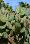 Cacti With Red Berries