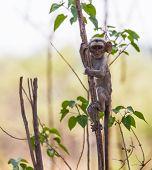 Cute, inquisitive baby vervet monkey