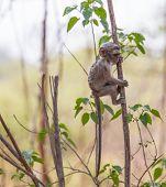 stock photo of baby-monkey  - A cute baby vervet monkey exploring his habitat - JPG