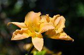 pic of lillies  - Summer blossom of fresh orange lilly in garden - JPG