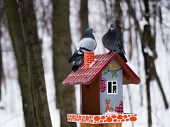 pigeons in winter Park