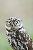 Beautiful Owl - Athene Noctua, Litlle Owl