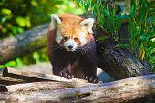 Portrait of a cute Red Panda
