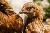 foto of poultry  - Head brown chicken in the poultry - JPG