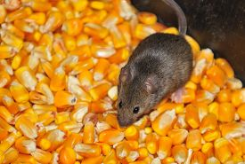 image of field mouse  - Four field mice eating corn grain on the farm - JPG