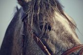 image of stallion  - Portrait of a sports stallion in a bridle - JPG