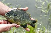 picture of bluegill  - Sunfish being held for a close up with a lake in the background - JPG