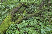 image of decomposition  - moss-covered fallen tree in forest; Mammoth Cave National Park, Kentucky ** Note: Shallow depth of field - JPG