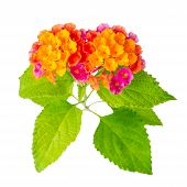 foto of lantana  - beautiful colorful Lantana camara flower is isolated on white background closeup - JPG