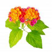 stock photo of lantana  - beautiful colorful Lantana camara flower is isolated on white background closeup - JPG