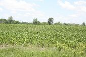 image of corn  - Field - JPG