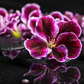 stock photo of geranium  - beautiful spa background of geranium flower beads and black zen stones with drops in reflection water Royal Pelargonium closeup - JPG