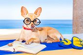image of palm-reading  - chihuahua dog reading a book and relaxing under the palm at the beach enjoying the summer vacation holidays - JPG