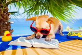 stock photo of toy dogs  - chihuahua dog reading a book and relaxing under the palm at the beach enjoying the summer vacation holidays - JPG