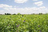 stock photo of alfalfa  - Medicago sativa in bloom  - JPG