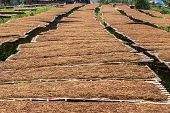 pic of tobacco barn  - leaf Tobacco farmers and producers in Thailand - JPG