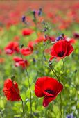 image of common  - Common poppy flowers Papaver rhoeas in a cultivated field  - JPG