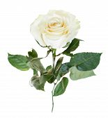 stock photo of single white rose  - white rose flower close up isolated on white background - JPG