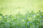 picture of marijuana plant  - Young cannabis plant - JPG