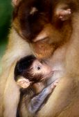 picture of baby-monkey  - suckling baby macaque in sepolok orangutan sanctuary in borneo - JPG