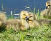 stock photo of canada goose  - Three Canada goose goslings sitting in the grass. ** Note: Shallow depth of field - JPG