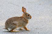 Cuidado con el cruce de conejo