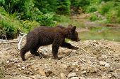pic of bear cub  - Cub brown bear in the summer natural environment - JPG
