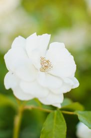 pic of garden eden  - White roses on the bush in the summer garden - JPG