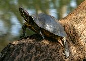 stock photo of cooter  - (florida turtle sunning self) thank you very much for looking - JPG