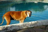 Viejo perro Ridgeback de Rodesia